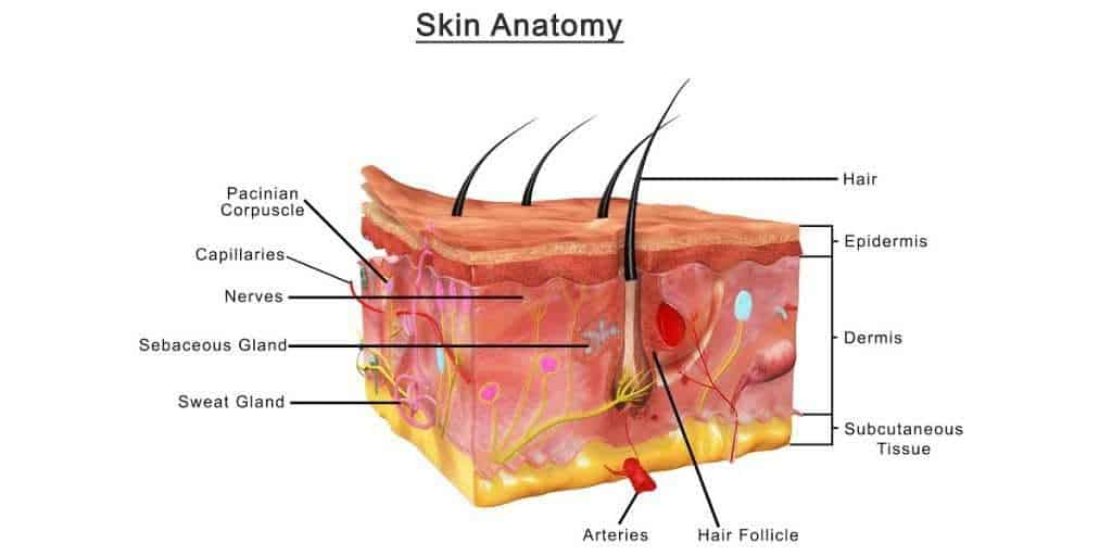 Anatomy of the skin showing the dermis and subcutaneous layers