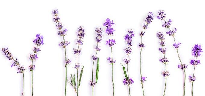 Row of purple lavender flowers